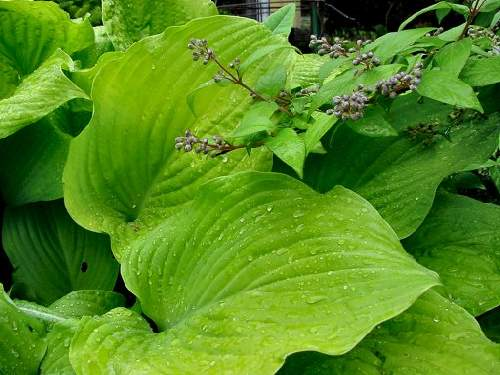 Golden Gate Hosta