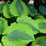 Goodness Gracious Hosta