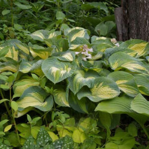 Great Expectations Hosta
