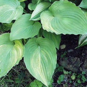 Grecian Lace Hosta