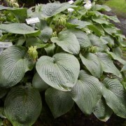 Green Eyed Monster Hosta