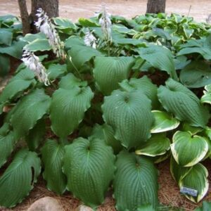 Green Piecrust Hosta