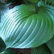 Green Sheen Hosta