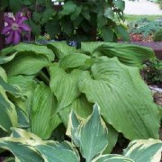 Green Velveteen Hosta