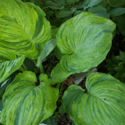 Gunthers Prize Hosta