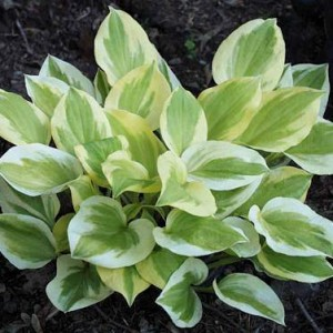 Heavenly Tiara Hosta