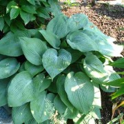 Hillbilly Blues Hosta