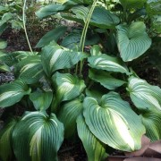 Hollywood Lights Hosta