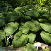 Hoosier Dome Hosta