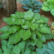 Invincible Hosta