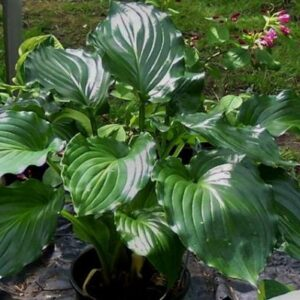 Irish Luck Hosta