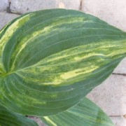 Kiwi Highlights Hosta