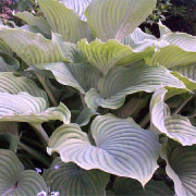 Komodo Dragon Hosta