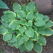 Lakeside Baby Face Hosta
