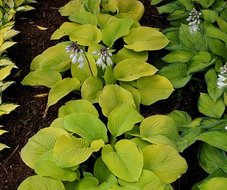 Lakeside Butter Ball Hosta