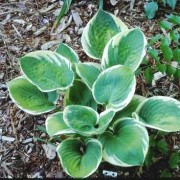 Lakeside Cupid's Cup Hosta