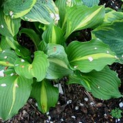 Lakeside Dividing Line Hosta