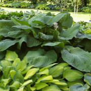 Lakeside Maverick Hosta