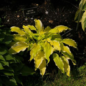 Lakeside Party Dress Hosta