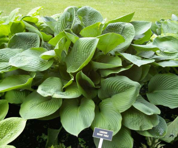 Lakeside Round Table Hosta
