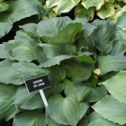 Lakeside Sir Logan Hosta