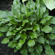 Lakeside Storm Watch Hosta