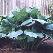 Lakeside Surf Rider Hosta