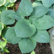 Lakeside Tycoon Hosta