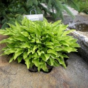 Lakeside Down Sized Hosta