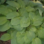 Little John Hosta