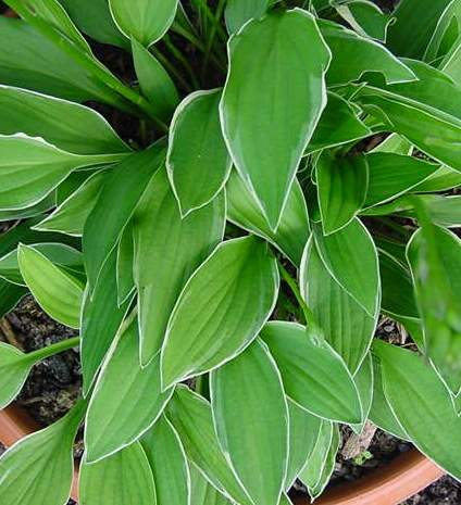 Little White Line Hosta