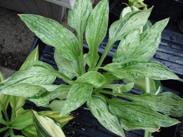 London Fog Hosta