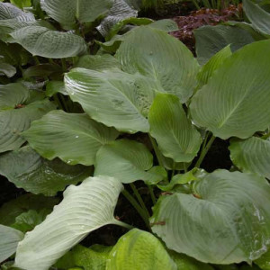 Lothar the Giant Hosta