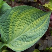Love in the Afternoon Hosta