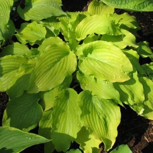 Lullabye Hosta