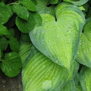 Lunar Orbit Hosta