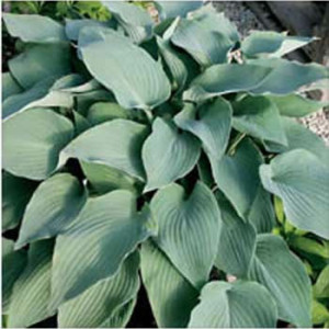 Mad About Blue Hosta