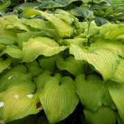 Made You Look Hosta
