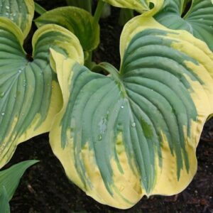 Magic Fire Hosta
