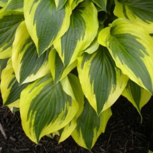 Majestic Hosta