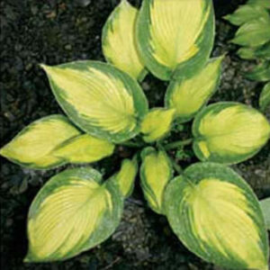 Margie's Angel Hosta