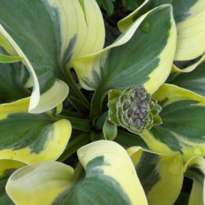 Mighty Mouse Hosta
