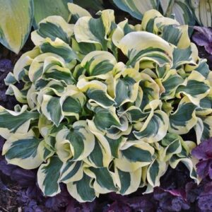 Mini Skirt Hosta
