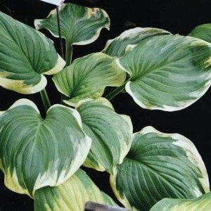 Miss Saigon Hosta