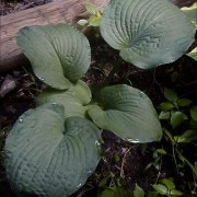 Moby Dick Hosta
