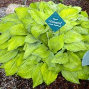 Monsoon Hosta