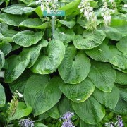Mountain Man Hosta