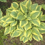 My Claire Hosta