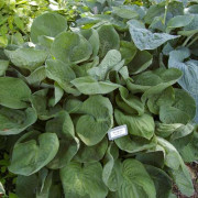 Neat and Tidy Hosta