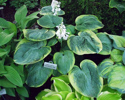 Nifty Fifty Hosta